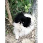 panda - Epagneul nain Papillon (3 ans)