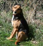 Photo Foxhound Anglais