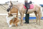 Chien Teddy avec le cheval, Le Clos de Marialan. - Colley  (Vient de naître)