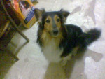 Chien Rusty - Colley Femelle (0 mois)