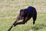Gambler - Greyhound