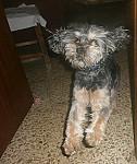 Morti - Griffon belge Mâle (5 ans)