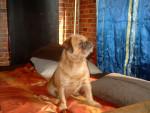 buffy - Griffon belge (2 ans)