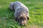 Jipsy - Griffon d'arrêt à poil dur Korthals (1 an)
