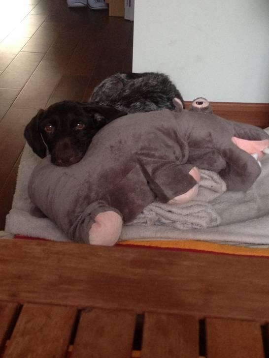 Icare - Griffon d'arrêt à poil dur Korthals Mâle (6 ans)