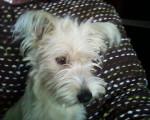Rex - Griffon fauve de Bretagne (3 ans)