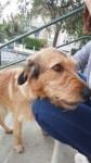 Alfe - Griffon fauve de Bretagne Mâle (4 ans et demi)
