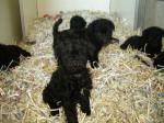 bébé kerry - Kerry blue terrier (1 mois)