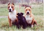 skipie et ses gardes du corps - Kerry blue terrier Mâle (2 mois)