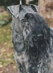 Kerry Blue Terrier - Kerry blue terrier