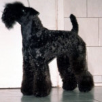 pretty - Kerry blue terrier (11 ans)