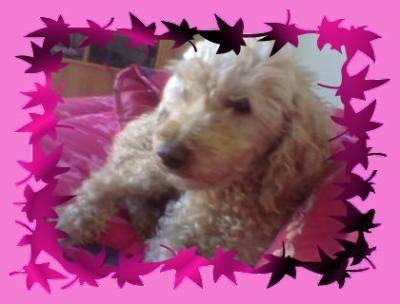 Maïlie - Caniche (10 ans)