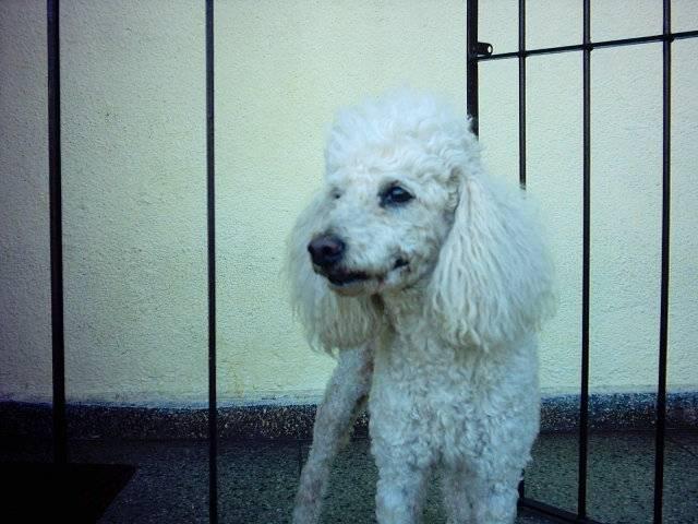 frederico (fred) - Caniche Mâle (10 ans)