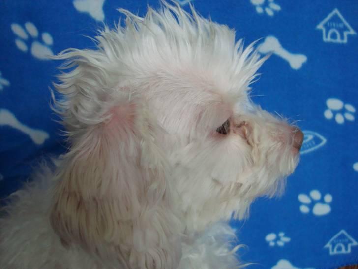 Flip - Caniche Mâle (3 ans)