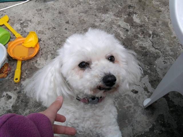 Romy - Caniche (11 ans)