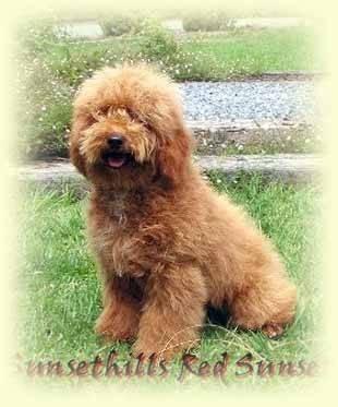 C'est le père du chien que je vais bientôt avoir - Caniche Mâle (10 mois)
