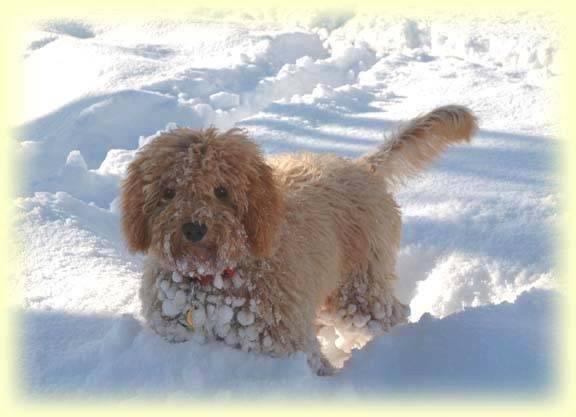 C'est la mère du chien que je vais bientôt avoir - Caniche (5 mois)