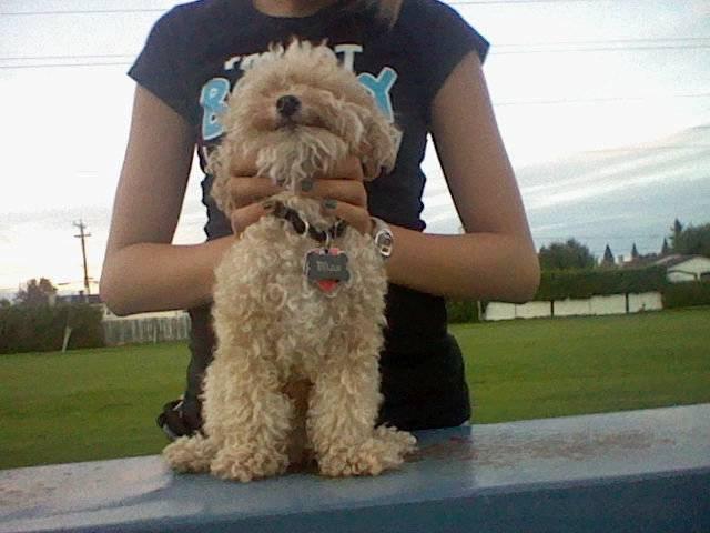 Max (à une connaissance) - Caniche Mâle (3 ans)