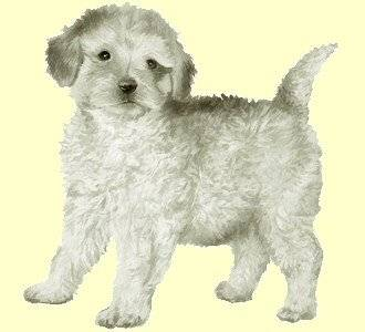 Romy - Caniche (9 ans)
