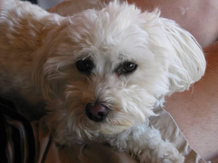 flocon - Caniche Mâle (3 ans)