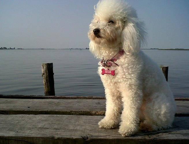 Zoe - Caniche (6 ans)