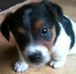 Chien guinnis - Parson Russell Terrier Femelle (2 mois)