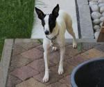 Chien S - Parson Russell Terrier Mâle (3 ans)