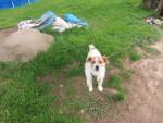 Chien orlando - Parson Russell Terrier Mâle (6 ans)