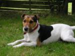 Chien Bandit - Parson Russell Terrier Mâle (7 ans)