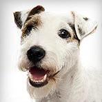 Chien Lucky - Parson Russell Terrier Mâle (2 ans)