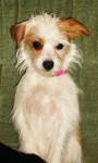 Chien TaLou ( Luna ) - Parson Russell Terrier Femelle (2 ans)