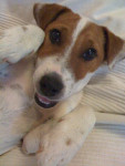 Chien Oxo - Parson Russell Terrier - Parson Russell Terrier  (0 mois)