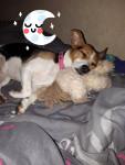 Chanel - Parson Russell Terrier (2 ans et 3 mois)
