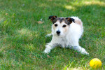 Photo Parson Russell Terrier