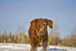 Photo Retriever de la baie de Chesapeake