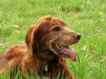 Setter irlandais - Pongo 10 ans - Setter irlandais rouge (10 ans)