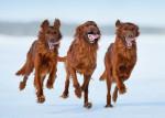 Trois Setters Irlandais rouge cerf courent dans la neige