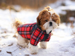 un chiot Shih Tzu avec un manteau dans la neige