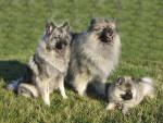 Loups gris d'Occitanie - Spitz allemand