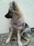 Chien Shunke, chiot Spitz-Loup - Spitz allemand  (0 mois)