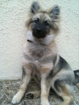 Chien Shunke, jeune Spitz-Loup 4 mois et demi - Spitz allemand  (4 mois)