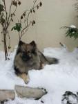 Chien Schunke beau mâle Spitz Loup de 2 ans1/2 - Spitz allemand  (2 ans)