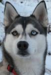 tengo - Husky Mâle (6 mois)