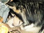 Siberia - Husky (3 ans)