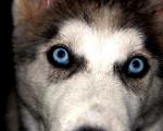 Teatrera Ojos Azules - Husky (9 mois)