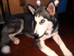 Chien Teatrera Ojos Azules - Husky Femelle (10 mois)
