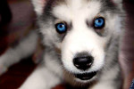 Teatrera Ojos Azules - Husky (1 mois)