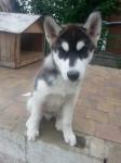 BUDDHA - Husky Mâle (3 mois)