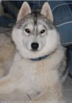 endrow - Husky Mâle (2 mois)