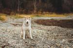 Photo Husky